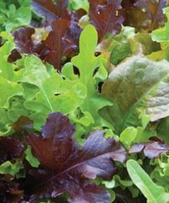 gourmet saled blend lettuce seeds