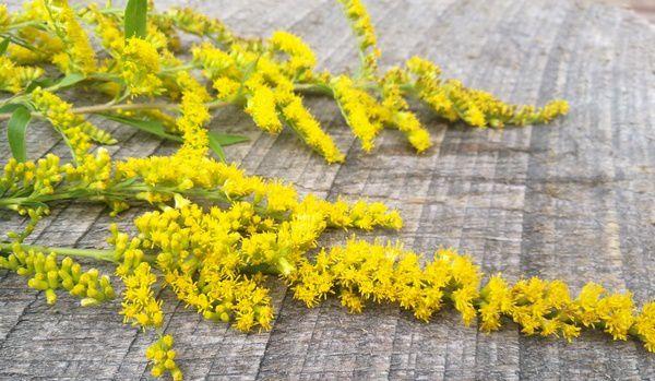 Goldenrod Medicinal Uses