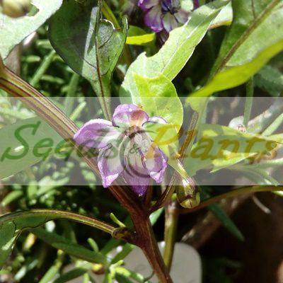Purple Jalapeno