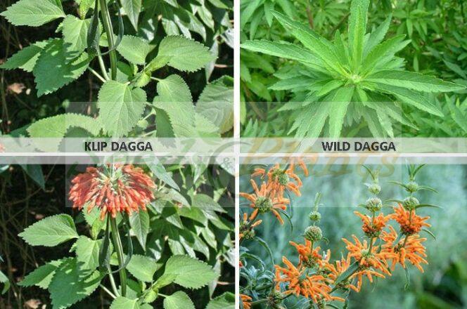 Klip Dagga and Wild Dagga