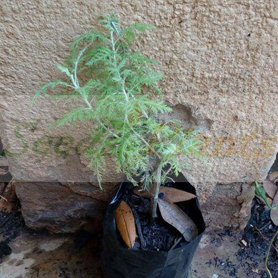 African Wormwood Plant