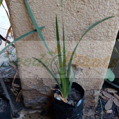 African Iris Plant