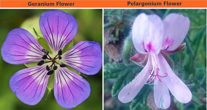The differences between Pelargonium and Geranium