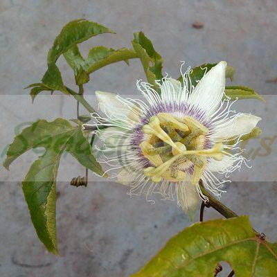 Purple Passion Fruit
