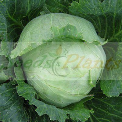 Glory Of Enkhuizen Cabbage