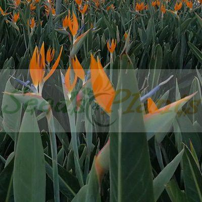 Orange Strelitzia