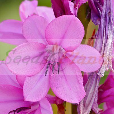 Pink Watsonia