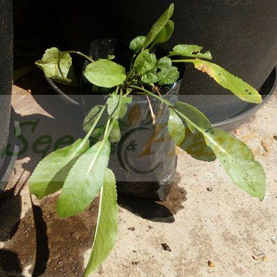 Costmary Plant