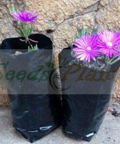 Darling Vygie Plant