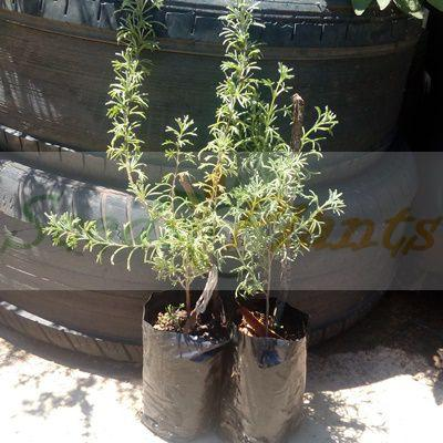 African Wild Rosemary Plant